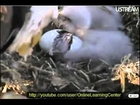 2011 *First Look* at Decorah Eagle Nest Cam 3rd Baby Eagle Hatching