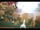 Ginger's 10 puppies at 5 weeks old - Wag Animal Rescue