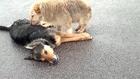 Dogs wont leave dead friend...