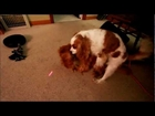 Dogs Go CRAZY Over Laser Pointer And Hump. REALLY FUNNY!!!!!!